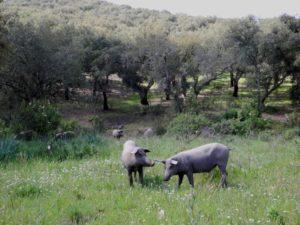 Cerdos Ibericos Wiese 01