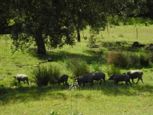 Cerdos Ibericos Wiese 02